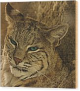 Wary Bobcat Wood Print by Penny Lisowski