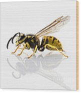 Wasp Isolated  Wood Print