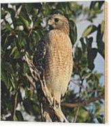 Watchful Eyes - Red Shouldered Hawk Wood Print