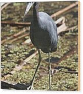 Watchful Little Blue Heron  Wood Print