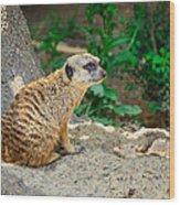 Watchful Meerkat Wood Print