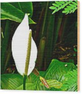 Water Arum In Park Across From Wat Phrathat Doi Suthep In Chiang Mai-thailand. Wood Print