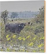 Water Buffaloes At Corroboree Billabong Wood Print