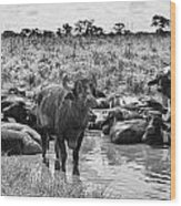 Water Buffaloes-black And White Wood Print