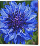 Water Color Bachelor's Button Wood Print
