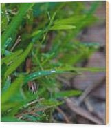 Water Drops On The  Grass 0012 Wood Print