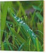 Water Drops On The  Grass 0015 Wood Print