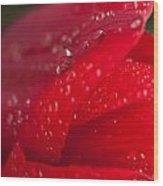 Water Drops On Tulip Wood Print