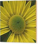 Water Kissed Yellow Chrysanthemum  Wood Print