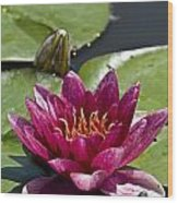 Water Lily Pictures 66 Wood Print
