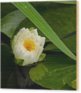 Water Lily Reflection Wood Print