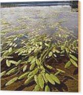 Water Plant Wood Print