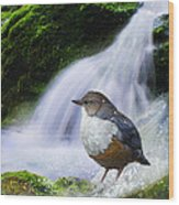 Waterfall And Ouzel European Dipper Wood Print