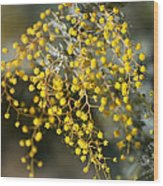 Wattle Flowers Wood Print