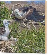 Waved Albatross  And Young Wood Print