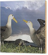 Waved Albatross Courtship Dance Wood Print