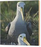 Waved Albatross Mate In Galapagos Wood Print