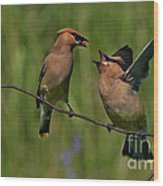Waxwing Love.. Wood Print by Nina Stavlund