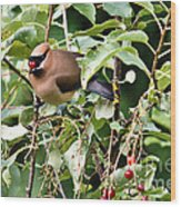 Waxwing Meal Wood Print