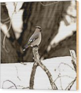 Waxwing Perched Wood Print