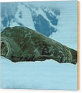 Weddell Seal Wood Print