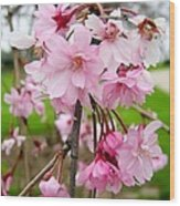 Weeping Cherry Blossoms Wood Print