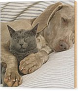 Weimaraner Asleep With Cat Wood Print