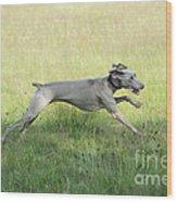 Weimaraner Dog Running Wood Print