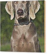 Weimaraner Hunting Dog Wood Print