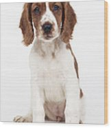 Welsh Springer Spaniel Dog Wood Print