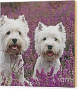 West Highland Terrier Dogs In Heather Wood Print