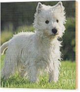 West Highland White Terrier Wood Print