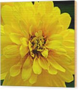 West Virginia Marigold Wood Print