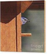 Western Bluebird At Nest Wood Print