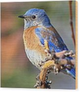 Western Bluebird Profile Wood Print
