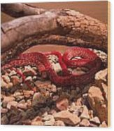 Western Coachwhip Red Phase Wood Print