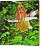 Western Columbine Along Wapta Falls Trail In Yoho National Park-british Columbia Wood Print