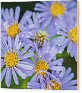 Western Daisies Asters Glacier National Park Wood Print