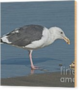 Western Gull Eating Clam Wood Print
