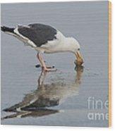 Western Gull Eats Clam Wood Print