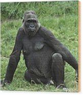 Western Lowland Gorilla Female Wood Print
