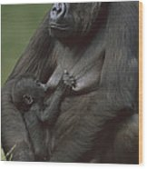 Western Lowland Gorilla Nursing Infant Wood Print