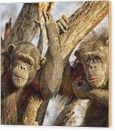 Western Lowland Gorillas Wood Print