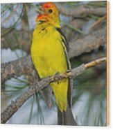 Western Tanager Singing Wood Print
