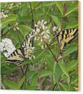 Western Tiger Swallowtail Butterflies Wood Print