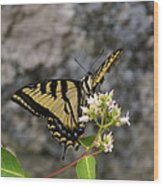 Western Tiger Swallowtail Butterfly 2 Wood Print