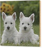 Westie Puppies Wood Print