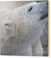 Wet Polar Bear Close-up Portrait Wood Print