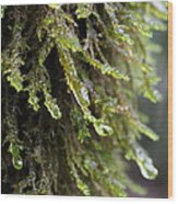 Wet Redwood Branches Wood Print