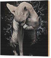 Wet Sphynx Wood Print
